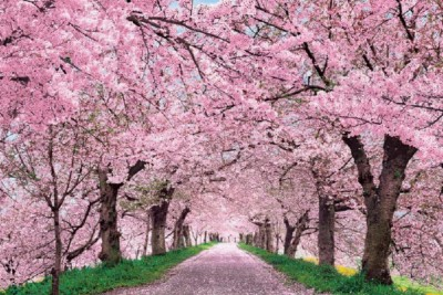 I interviewed my mom, Sangita More, about her life in the United States and her first impressions of the new country. This is about the time she first went to the Cherry Blossom Festival. The interview took place over the phone